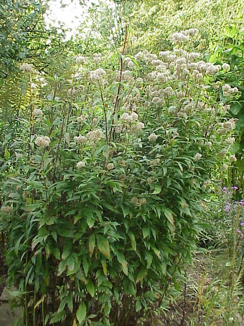 Koninginne(n)kruid of leverkruid (Eupatorium cannabinum)