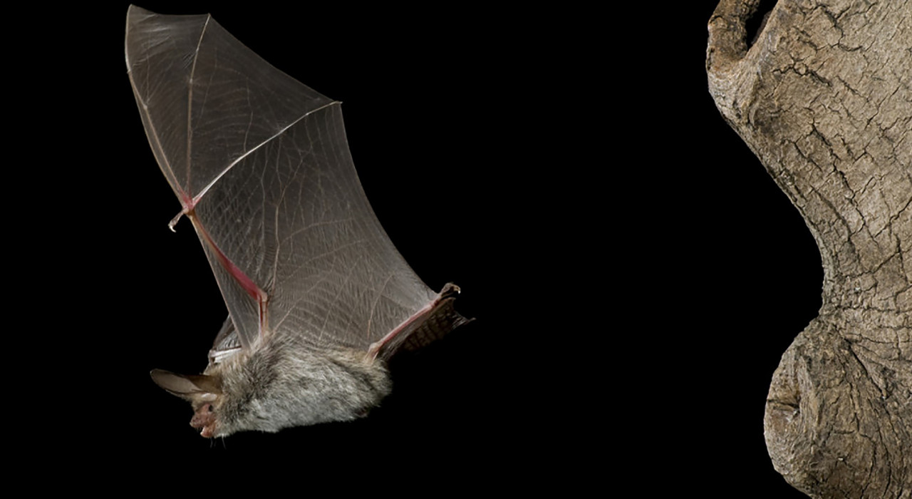 Big eared townsend bat (Corynorhinus townsendii) (Wikipedia)
